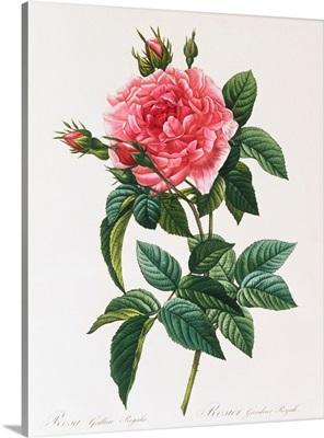 Rosa Gallica Reglais By Pierre Joseph Redoute