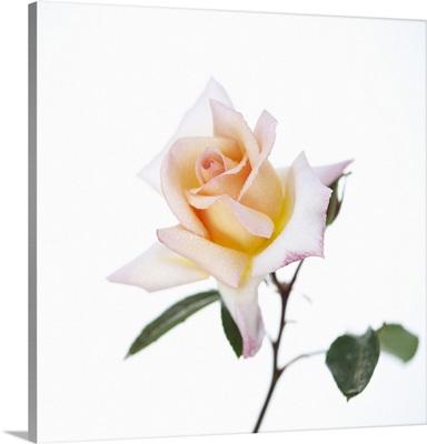Rose against white background.