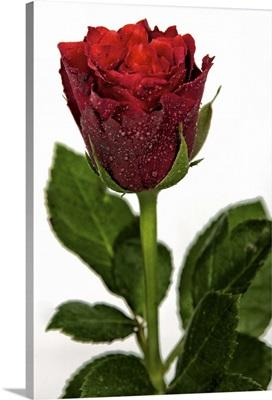 Rose against white background, UK.