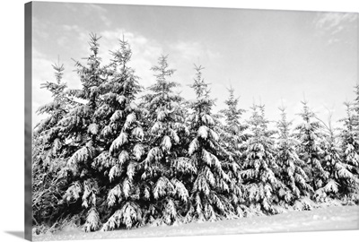 Row of evergreen trees are laden with snow in winter, Canada.