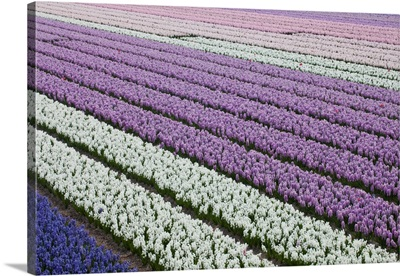 Rows Of Colorful Hyacinths Grown As Crop In Lisse, Netherlands (Holland)