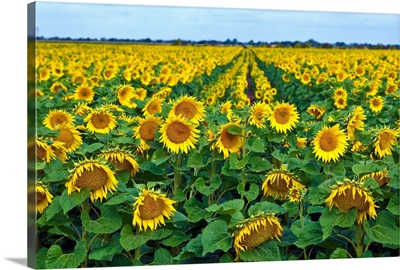 Rows of sunflowers in France.