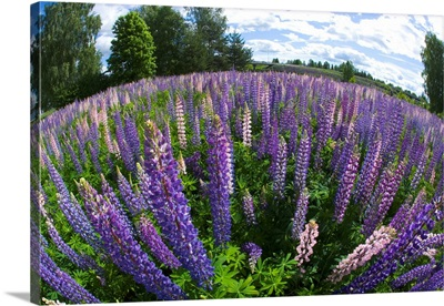 Russel Lupine In Large Field In Olso Norway Near The Airport