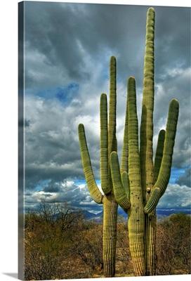 Saguaro sentinels, Tucson, Arizona
