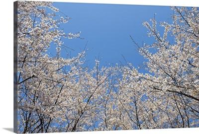 Sakura blossom against blue sky.
