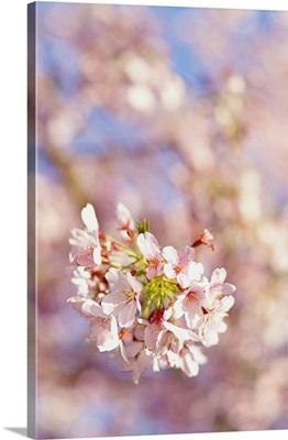 Sakura, pink cherry blossom flowering tree.