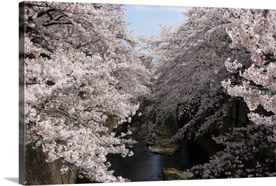 Sakura tree near river.