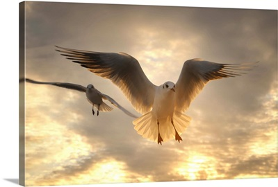Seagull at sunset, Menton France.