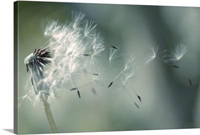 Seeds of dandelion blowing in wind France.