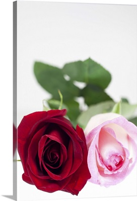 Selective focus, close-up of two roses, one red, the other pink, on a white background.