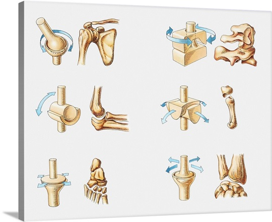 Series Of Illustrations Showing Different Types Of Human Bone Joint