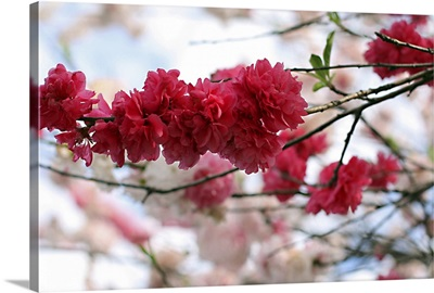 Shades of pink blossom.