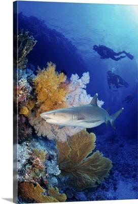 Shark in the Great Barrier Reef, Australia