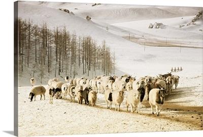 Sheep walking through snow covered Gorkhi Terelj National Park Mongolia.