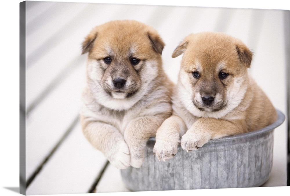 Shiba Inu Puppies In Aluminum Tub Wall Art Canvas Prints