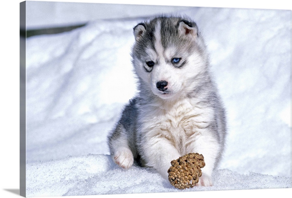 Siberian Husky Puppy Playing With A Pine Cone In The Snow Wall Art