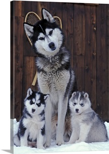 Siberian Husky sitting with two puppies in snow