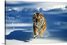 Siberian tiger (Panthera tigris altaica) charging through snow
