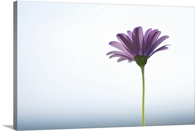 Side capture of purple daisy in front of bokeh sea and sky background.
