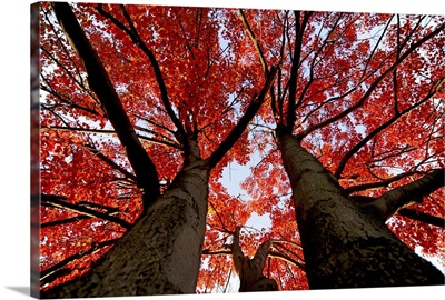 Silhouette Red Trees Upward