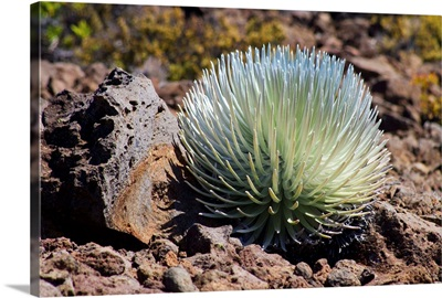 Silversword At Haleakala National Park, Maui, Hawaii