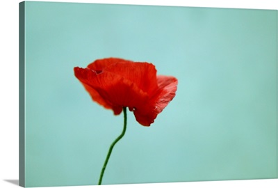 Simple red poppy against turquoise blue background.