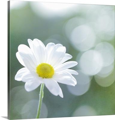 Single Chrysanthemum against bokeh background.