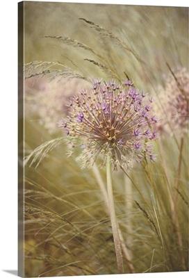 Single dried flower head of Allium Purple Sensation amongst stipa grasses.