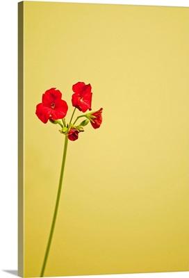 Single geranium flowers on yellow background.