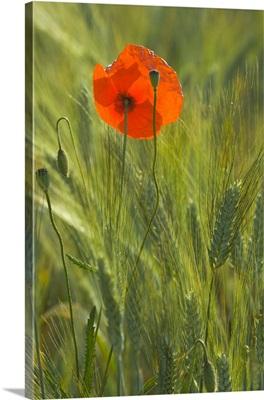 Single red poppy in wheat