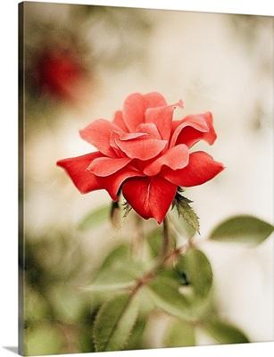 Single red rose.