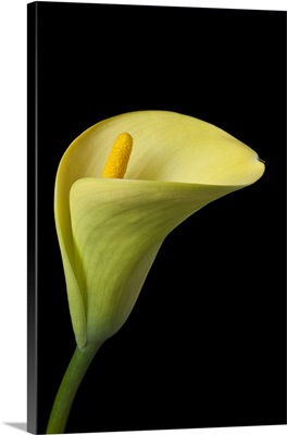 Single yellow calla lily