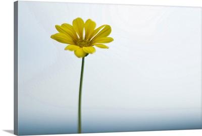 Single yellow daisy on sky and sea.