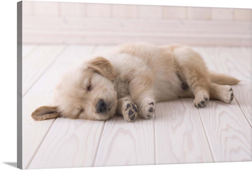 Sleeping Golden Retriever Puppy Wall Art Canvas Prints