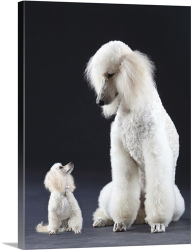 Small and large white Poodle Wall Art, Canvas Prints, Framed Prints ...