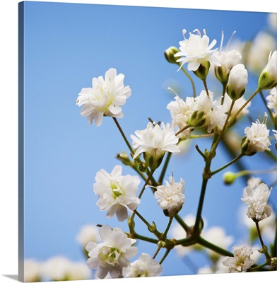 Small, white, baby's breath flowers