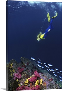 Snorkelers swimming with fusilier fish