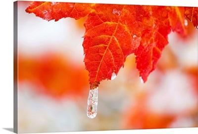 Snow And Ice On An Autumn Vine Maple