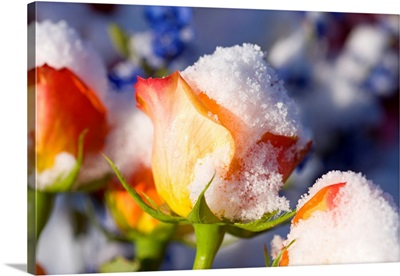 Snow-Covered Roses