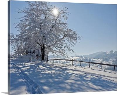 Snow covered tree with sun shining through it, Switzerland.