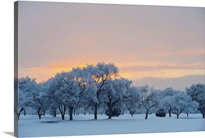 Snow covered trees at sunset.