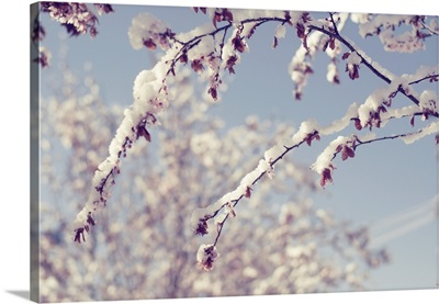 Snow on branches of tree that has Spring blossom flower.