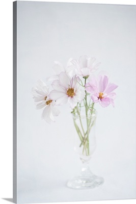 Soft pink and white cosmos flowers in glass vase.