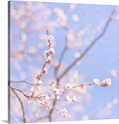 Soft pink blossom of Prunus Autumnalis which flowers in middle of winter.