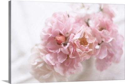 Soft pink roses in vase.