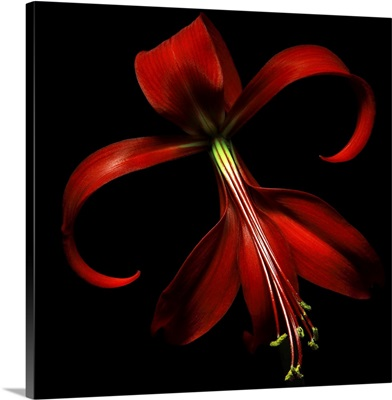 Special red lily on black background.