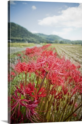 Spider lilies which bloom in footpath of rice field.
