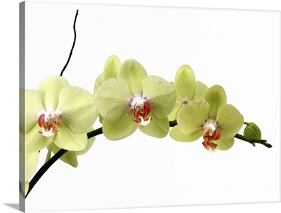 Spray of pale green phalenopsis orchid
