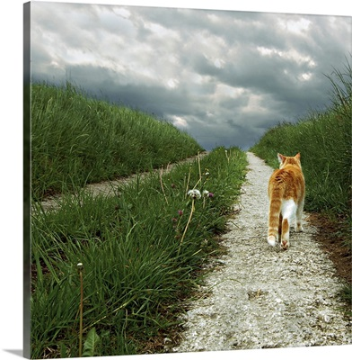 Square image of lone red and white cat taking a stroll along a grassy path