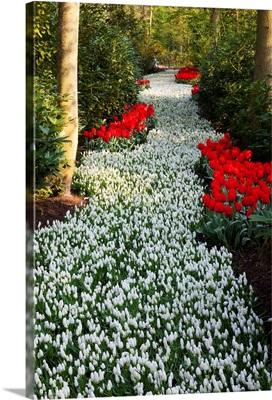 Strip Of White Grape Hyacinths Edged With Red Tulips In Keukenhof Gardens